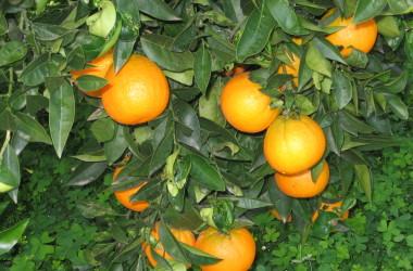 Import arance dall'Egitto, Ioppolo chiede sostegno al mercato agrumario siciliano