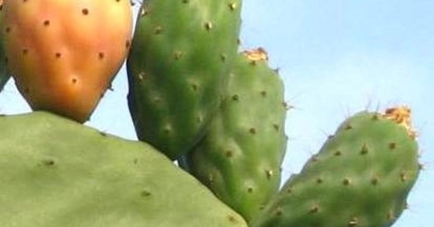 Sicilia e Tunisia a confronto, seminario a Tunisi per produttori carciofi e fichi d'India