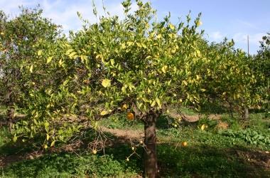 Agrumi, Cia e Confagricoltura Catania, per combattere virus Tristeza