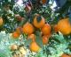 Arrivano sul mercato le arance di Ribera DOP