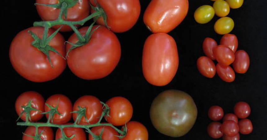 Arriva il super pomodoro, un kit di geni raddoppia la quantità di frutti
