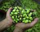 Per olio d'oliva italiano calo produzione del 35%. In Sicilia -22%