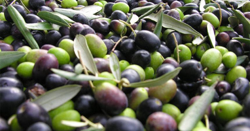 Coldiretti: Italia invasa dall'olio di oliva straniero