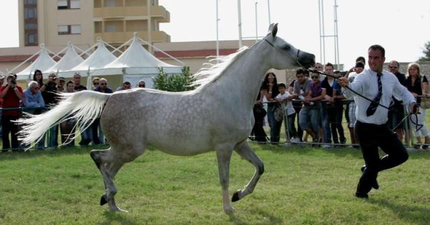 Concorsi: a San Vito lo Capo sfilano 100 cavalli arabi