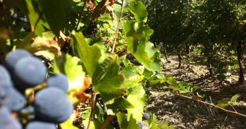 Crescono in Italia consumi di vino bio,+5,2% nel 2015. Sicilia regione leader per viti biologiche, 25mila ettari
