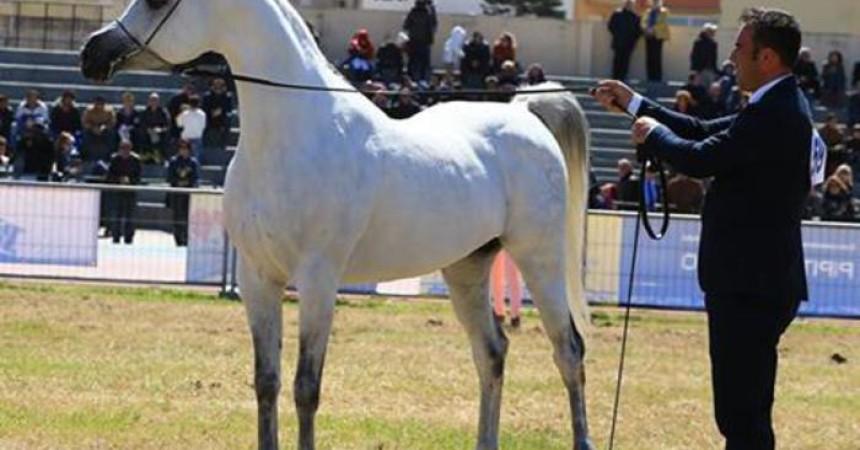 Arabian Horses Cup 2015 sabato a San Vito lo Capo