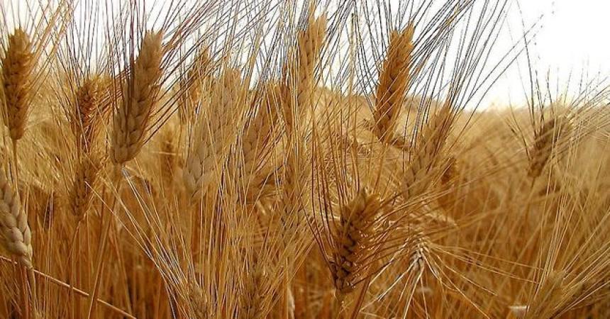 Agricoltura: Cra, ecco l'impronta digitale dei cereali siciliani