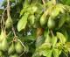 In Sicilia è boom di produzioni tropicali