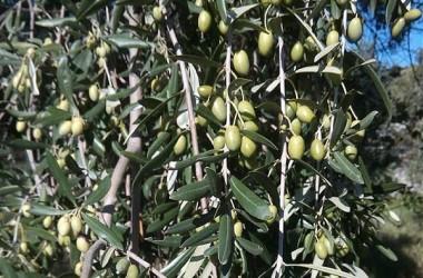 Olivicolturabio, la Sicilia conferma primato