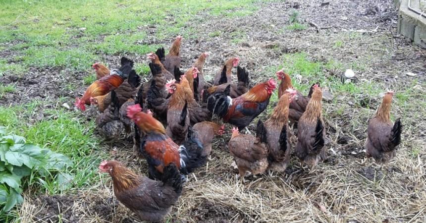 Allevatore siciliano rilancia incrocio polli isolani e 'immigrati' libici