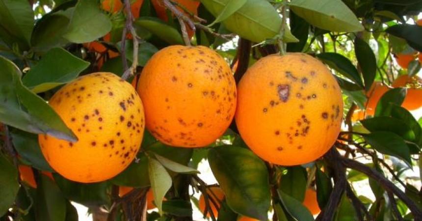 Ue, controlli rigidi e blocco import: contro la 'macchia nera' degli agrum