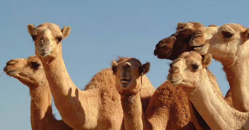Veterinari siciliani cureranno i cammelli ad Abu Dhabi
