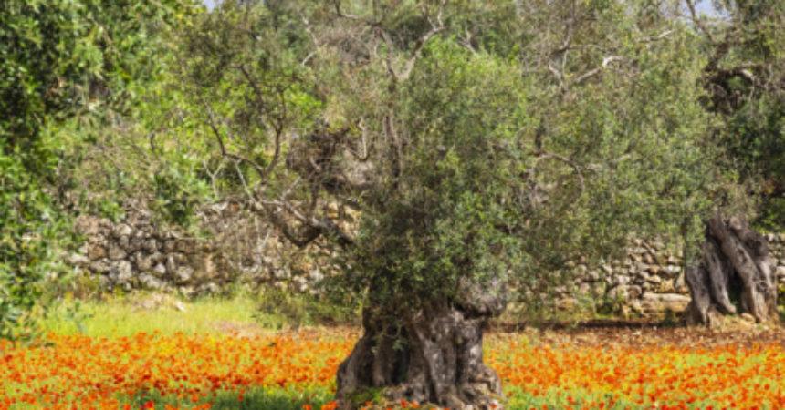 Sono a rischio tutti gli oliveti d'Europa