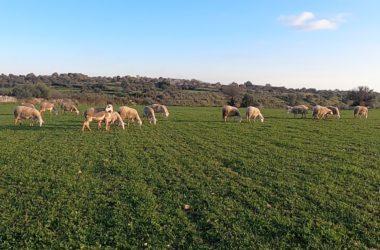 Il CoRFiLaC di Ragusa partner per la filiera ovina in Tunisia con il progetto Jesmed