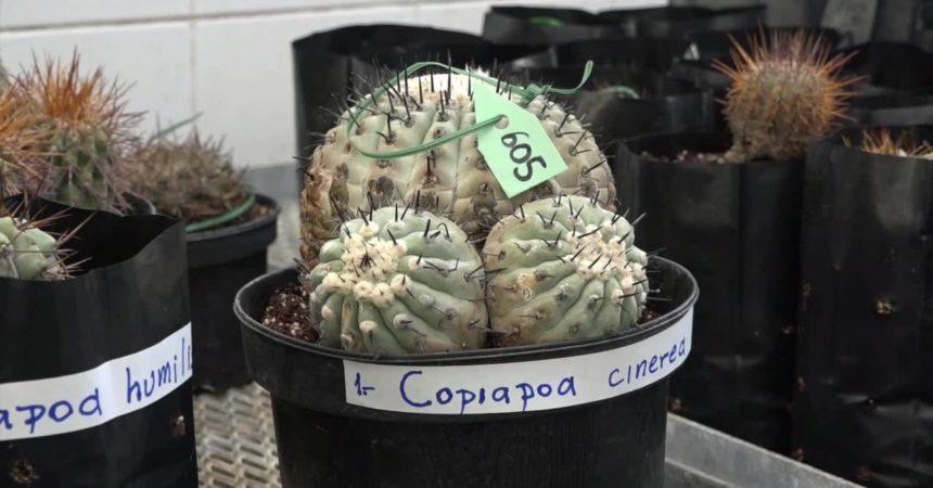 Cactus rarissimi sequestrati tornano in Cile