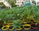 Cannabis, primo via libera alla coltivazione in casa fino a 4 piante